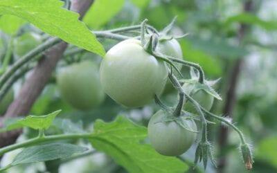 Kertészeti üzemek korszerűsítését célzó pályázat indul